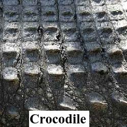 Crocodile Hornback